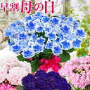 母の日 プレゼント アジサイ ギフト 花 鉢植え 紫陽花 コンペイトウブルー ノブレス ディープパープル コットンキャン…