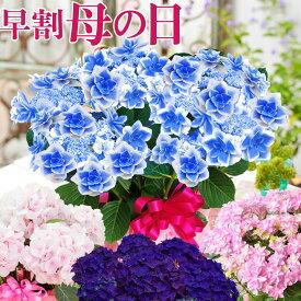 母の日 プレゼント アジサイ ギフト 花 鉢植え 紫陽花 コンペイトウブルー ノブレス ディープパープル コットンキャンディーから選べる ゴールドセレクション あじさい 特典付き