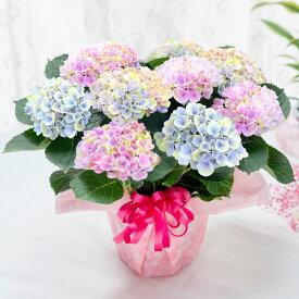 母の日 プレゼント アジサイト 花 ギフト 鉢植え あじさい 紫陽花 マジカル グラデーション 5号鉢植え 特典付き