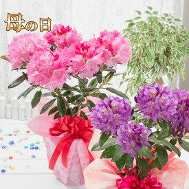 母の日 プレゼント 花 ギフト 鉢植え シャクナゲ 選べる花色 ピンク パープル 紫 6号鉢植え 特典付き