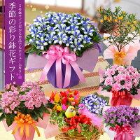 季節の鉢花ギフト「におい桜」「キン...