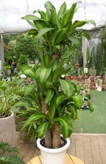 赏叶植物礼物幸福的树盆栽礼物8号钵