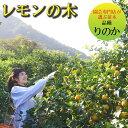 レモンの木 品種 璃の香 りのか 苗木 庭木 植木 1年生 接木苗