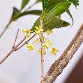 四季咲きモクセイ 5号 苗木 白 キンモクセイ きんもくせい