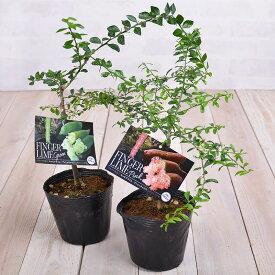 果樹苗 フィンガーライム 4.5号鉢 接木苗 ブッシュキャビア キャビアライム ピンク グリーン