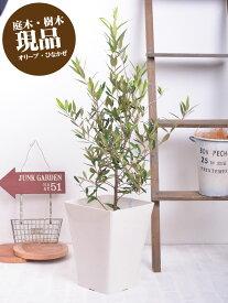 【現品07C】 オリーブ 苗木 鉢植え 庭木 10号角鉢に植え替えてお届け 販売 観葉植物 おしゃれな 樹木 洋風の家に合う