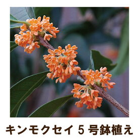 ●毎年咲きます● キンモクセイ苗木5号ポット(金木犀) 今期(2019年)花終わり品