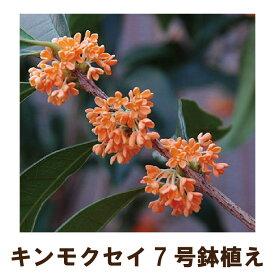 ●毎年咲きます● キンモクセイ苗木7号鉢植え(金木犀) 2019年花終わり品
