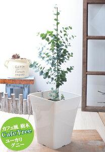ユーカリの木 グニー 【大鉢へ植え替え済品】 苗木 庭木