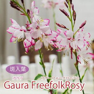 Gaula 白草 freeforgrorger 3,盆栽植物
