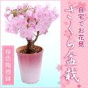 2月上旬よりお届け 特上株さくら盆栽(桜盆栽)●桜色陶器鉢植え−桜盆栽