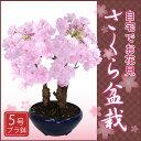 【2月上旬からお届け】桜盆栽(さくら盆栽)5号プラ鉢