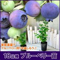 ブルーベリー苗!選べる18品種
