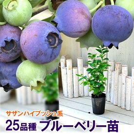 ブルーベリー 苗木 サザンハイブッシュ系 選べる31品種