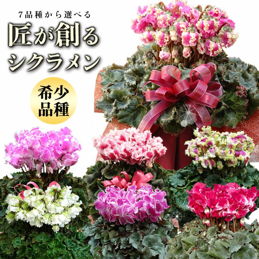 匠のシクラメン鉢植えギフト!選べる7品種 送料無料 お誕生日のフラワーギフトに!