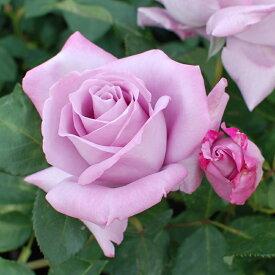 ご予約品 10月末から順次発送 バラ苗 ブルー・ムーン (紫) ブルームーン ハイブリッドティー ローズ 2年生大苗 バラ ばら