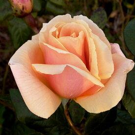 ご予約品 10月末から順次発送 バラ苗 ロイヤル・サンセット (オレンジ) ロイヤルサンセット ツルバラ クライミング ローズ 2年生大苗 つる バラ ばら