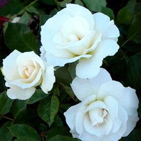 ご予約品 10月末から順次発送 バラ苗 マーガレット・メリル (白) マーガレットメリルフロリバンダ ローズ 2年生大苗 バラ ばら