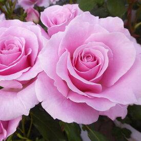 ご予約品 10月末から順次発送 バラ苗 ピンク・フレンチ・レース (ピンク) ピンクフレンチレース フロリバンダ ローズ 2年生大苗 バラ ばら