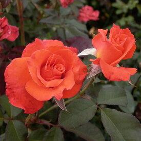 ご予約品 10月末から順次発送 バラ苗 テキーラ (オレンジ) フロリバンダ ローズ 2年生大苗 バラ ばら
