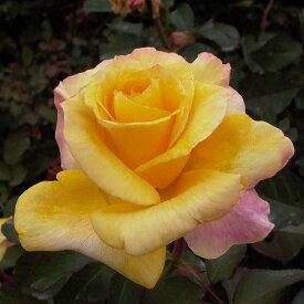 ご予約品 10月末から順次発送 バラ苗 カブキ (黄色) ハイブリッドティー ローズ 2年生大苗 バラ ばら