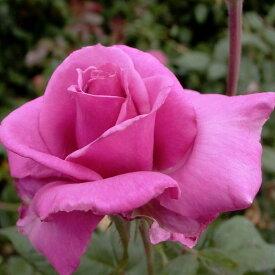 ご予約品 10月末から順次発送 バラ苗 芳純 (ピンク) ほうじゅん ハイブリッドティー ローズ 2年生大苗 バラ ばら