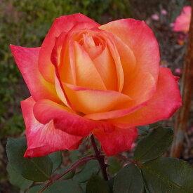 ご予約品 10月末から順次発送 バラ苗 シャーコック (オレンジ) ハイブリッドティー ローズ 2年生大苗 バラ ばら