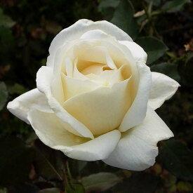 ご予約品 10月末から順次発送 バラ苗 ホワイト・クリスマス (白)ホワイトクリスマス ハイブリッドティー ローズ 2年生大苗 バラ ばら