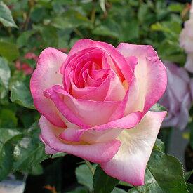 ご予約品 10月末から順次発送 バラ苗 プリンセス・ドゥ・モナコ (ピンク) プリンセスドゥモナコ ハイブリッドティー ローズ 2年生大苗 バラ ばら