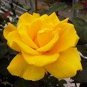Rose 102
