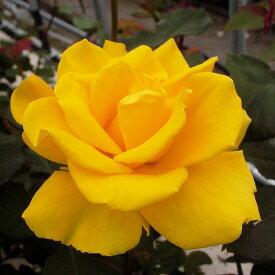 ご予約品 10月末から順次発送 バラ苗 ヘンリー・フォンダ (黄色) ヘンリーフォンダ ハイブリッドティー ローズ 2年生大苗 バラ ばら