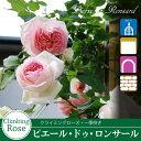 Rose sato02