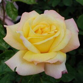 ご予約品 10月末から順次発送 バラ苗 ピース (黄色) ハイブリッドティー ローズ 2年生大苗 バラ ばら