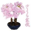 桜盆栽(さくら盆栽)5号プラ鉢【2月上旬からお届け】