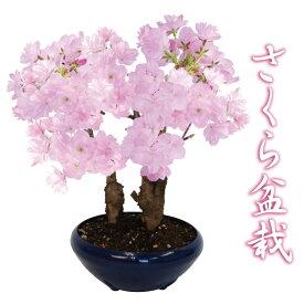 【予約品2月中旬からお届け】桜 盆栽 自宅でお花見楽しめる さくら 5号プラ鉢 苗木 植木 庭木 プレゼント 記念樹