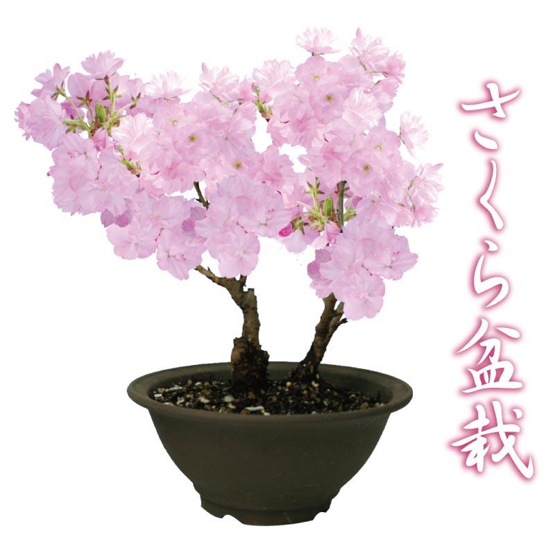 桜盆栽 特上株6号陶器鉢 自宅でお花見さくら盆栽♪【2月上旬からお届け】