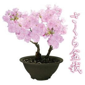 桜盆栽 特上株 6号 陶器鉢 自宅でお花見 さくら盆栽 ご予約品 2月上旬からお届け