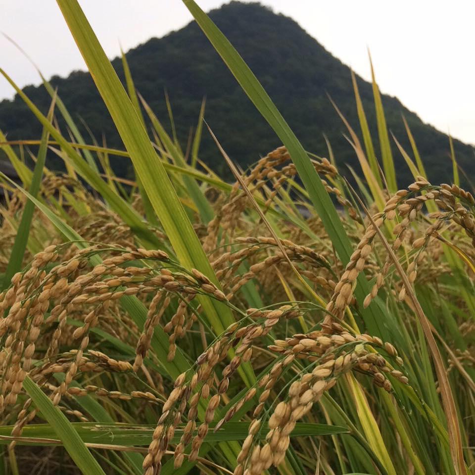自然栽培 朝日米 玄米(30kg) (無農薬 無化学肥料 在来品種)