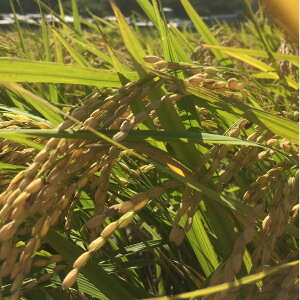 自然栽培 イセヒカリ 伊勢光 玄米(30kg) (無農薬 無化学肥料)