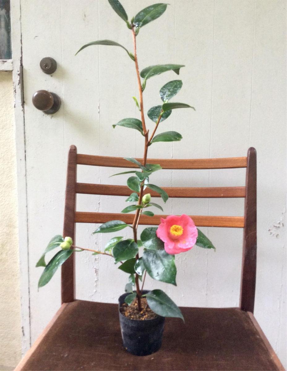 【紅(ピンク)白玉椿】花木 庭木 茶花 茶道 生け花 ツバキ つばき 3.5寸ポット苗