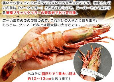 皇帝の海老ブランド・天然シータイガー(特大サイズ・1尾)