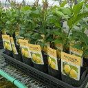 レモン 苗木 リスボン 【ベランダで育成】 鉢植え 接ぎ木苗 ポット植え[小] 柑橘 果樹 れもん