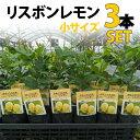 【3本セット】レモン 苗木 リスボン 【ベランダで育成】 鉢植え 接ぎ木苗 ポット植え[小] 柑橘 果樹 れもん