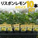 【10本セット】レモン 苗木 リスボン 【ベランダで育成】 鉢植え 接ぎ木苗 ポット植え[小] 柑橘 果樹 れもん