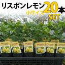 【20本セット】レモン 苗木 リスボン 【ベランダで育成】 鉢植え 接ぎ木苗 ポット植え[小] 柑橘 果樹 れもん