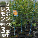 【3本セット】レモン 苗木 リスボン 【ベランダで育成】 鉢植え 接ぎ木苗 ポット植え[中] 柑橘 果樹 れもん
