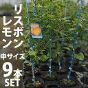 【9本セット】レモン 苗木 リスボン 【ベランダで育成】 鉢植え 接ぎ木苗 ポット植え[中] 柑橘 果樹 れもん