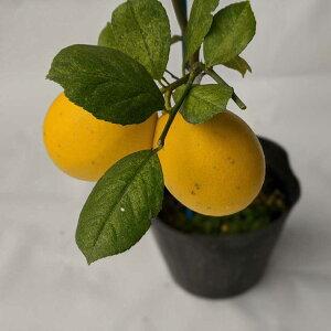 【10本セット】レモン 苗木 マイヤー 【ベランダで育成】 鉢植え 接ぎ木苗 ポット植え[小] 柑橘 果樹 れもん