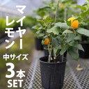 【3本セット】レモン 苗木 マイヤー 【ベランダで育成】 鉢植え 接ぎ木苗 ポット苗 [中] 柑橘 果樹 れもん