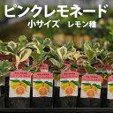 ピンクレモネード 苗木 柑橘 【ベランダで育成】 鉢植え 接ぎ木苗 9cmポット[小] 柑橘 果樹 ぴんくれもねーど